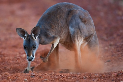 red kangaroo female digging